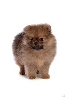 faithful, domestic animal, companion, canine, close up, pomeranian