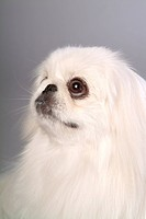 canine, dog, close up, domestic animal, pet, pekingese