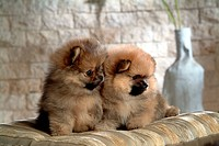 Canine, dog, close up, domestic animal, pet, pomeranian (thumbnail)