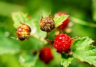 Plant, nature, mountain berry, wild berry, scene, plants, landscape (thumbnail)
