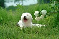 Pose, sheepdog, house pet, canines, domestic, posed, old english sheepdog (thumbnail)