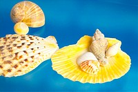 mollusks, scallop, mollusk, animal, shellfish, mollusc, shell