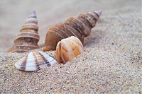 mollusks, conch, mollusk, animal, sand, mollusc, shellfish