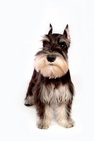 Pose, schnauzer, house pet, canines, domestic, miniature schnauzer (thumbnail)