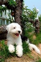 Pose, sheepdog, house pet, canines, domestic, old english sheepdog (thumbnail)