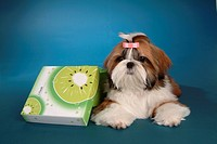 posed, domestic, pose, house pet, canines, posing, shih tzu