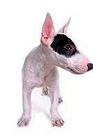 pose, terrier, house pet, canines, domestic, posed, bull terrier