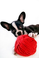 Faithful, domestic animal, companion, canine, close up, boston terrier (thumbnail)