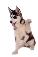 Canines, dog, domestic, husky, siberian husky, loving, animal (thumbnail)
