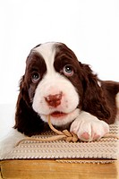 house pet, springer spaniel, canines, domestic, spaniel, pose, english springer spaniel