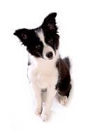 faithful, domestic animal, companion, canine, close up, border collie