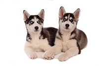 canines, dog, domestic, husky, siberian husky, animal