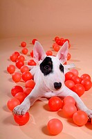 canine, dog, close up, domestic animal, pet, bullterrier