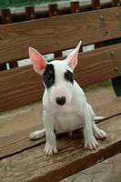 Pose, terrier, house pet, canines, domestic, bull terrier (thumbnail)
