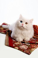 lying, turkish angora, domestic cat, feline, domestic animal, close up, cat