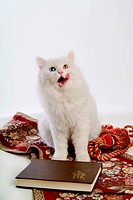 Sitting, turkish angora, domestic cat, feline, domestic animal, close up, cat (thumbnail)