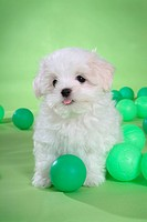 Posed, domestic, pose, house pet, canines, maltese (thumbnail)