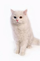close up, domestic animal, sitting, domestic cat, feline, turkish angora