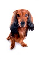Closeup, domestic animal, close up, looking camera, looking forward, dachshund (thumbnail)