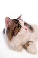 companion, turkishangora, closeup, close up, domestic animal, feline, cat