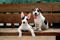 mammal, Russell, vertebrate, animal, Terrier, JackRussellTerrier