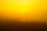 Plants, nature, eulalia, plant, scenery, grass, sunset (thumbnail)