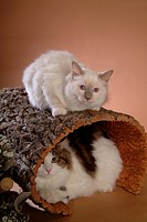 animal, TurkishAngora, birman, Birman, turkishangora, vertebrate, cat