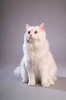 companion, turkishangora, closeup, close up, domestic animal, feline, TurkishAngora