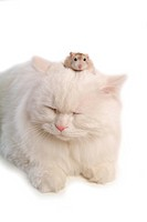 feline, hamster, rodent, turkish angora, cat, domestic, roborovskiis