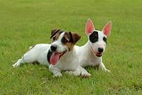 domestic, jake russell, terrier, bull terrier, russell, jake russell terrier