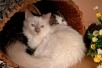 companion, birman, closeup, close up, domestic animal, feline, turkishangora