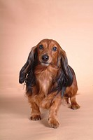 canine, domestic animal, closeup, close up, looking camera, companion, dachshund