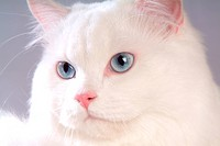 domestic cat, TurkishAngora, feline, domestic animal, turkishangora, closeup, cat