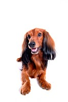 Canine, domestic animal, closeup, close up, looking away, dachshund (thumbnail)