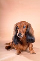 canine, domestic animal, closeup, close up, looking away, companion, dachshund