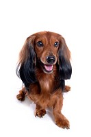 Canine, domestic animal, closeup, close up, looking forward, dachshund (thumbnail)