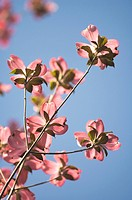 Close up of pink flowers on tree branch