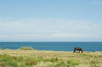 Horse grazing in coastal scene