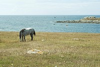 Horse grazing in field with sea in background
