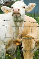 Two cows standing beside barbed wire fence, one looking at camera