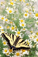 Butterfly resting on daisy