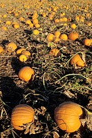 Pumpkins on vine in pumpkin patch