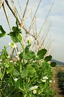 Flowering baby pea vines growing on trellis in field, close_up