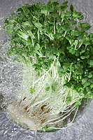 White radish sprouts
