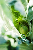 Artichoke growing, extreme close_up