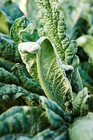 Artichoke leaves, close_up