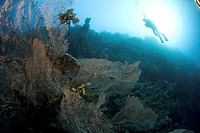 Divers over Gorgonian sea fans, Red Sea, Egypt.
