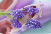 Muscari