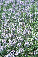 Lemon Thyme