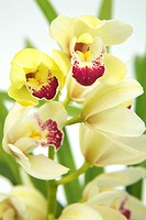 Cymbidium